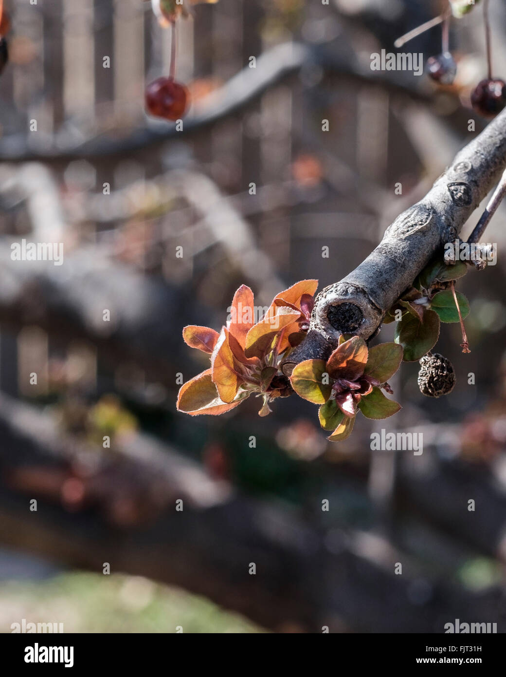 New spring leaves emerge in late February on a crabapple tree,Malus, in Oklahoma, USA. - Stock Image