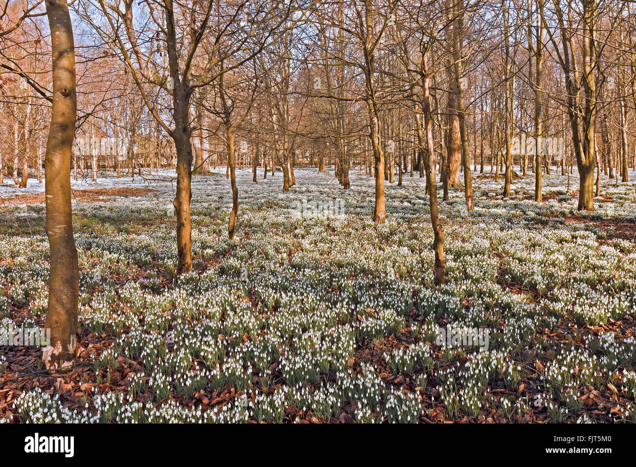 UK Berkshire Welford Park Snowdrops - Stock Image
