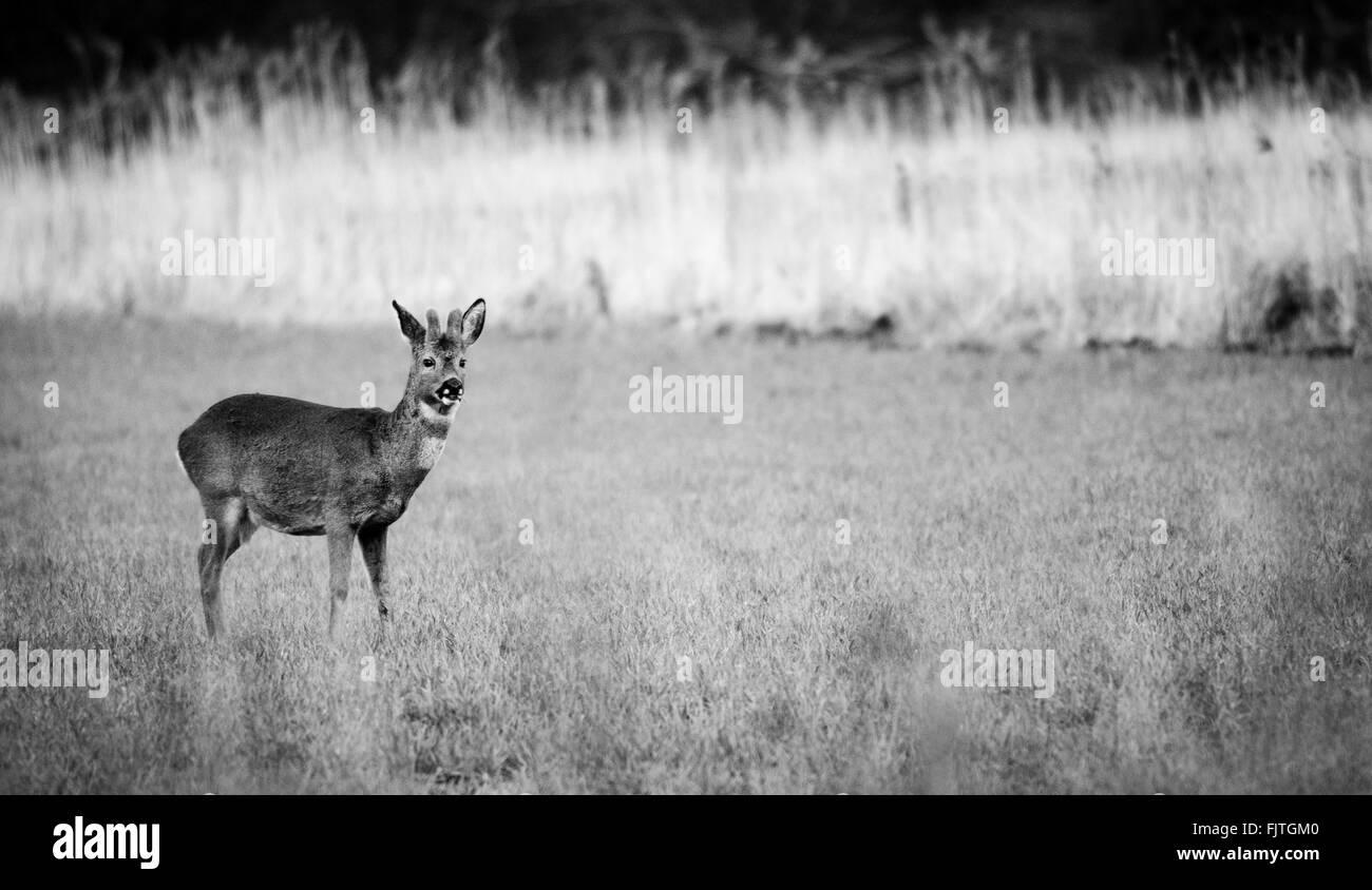 A Roe deer in a field in Falkirk - Stock Image