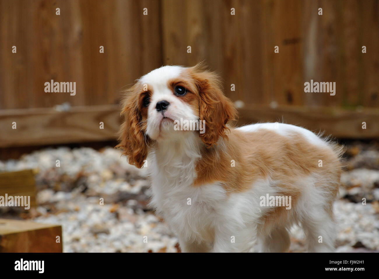 Cavalier King Charles Spaniel Standing Against Fence On Field - Stock Image 33e8d8005e