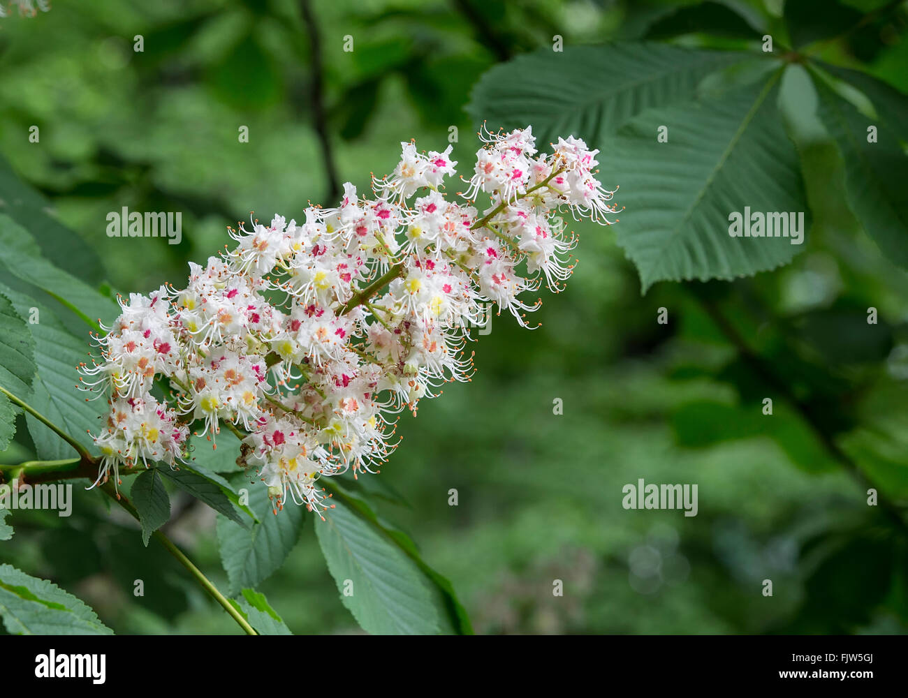 common horse chestnut (Aesculus hippocastanum), blooming branch,Spring - Stock Image