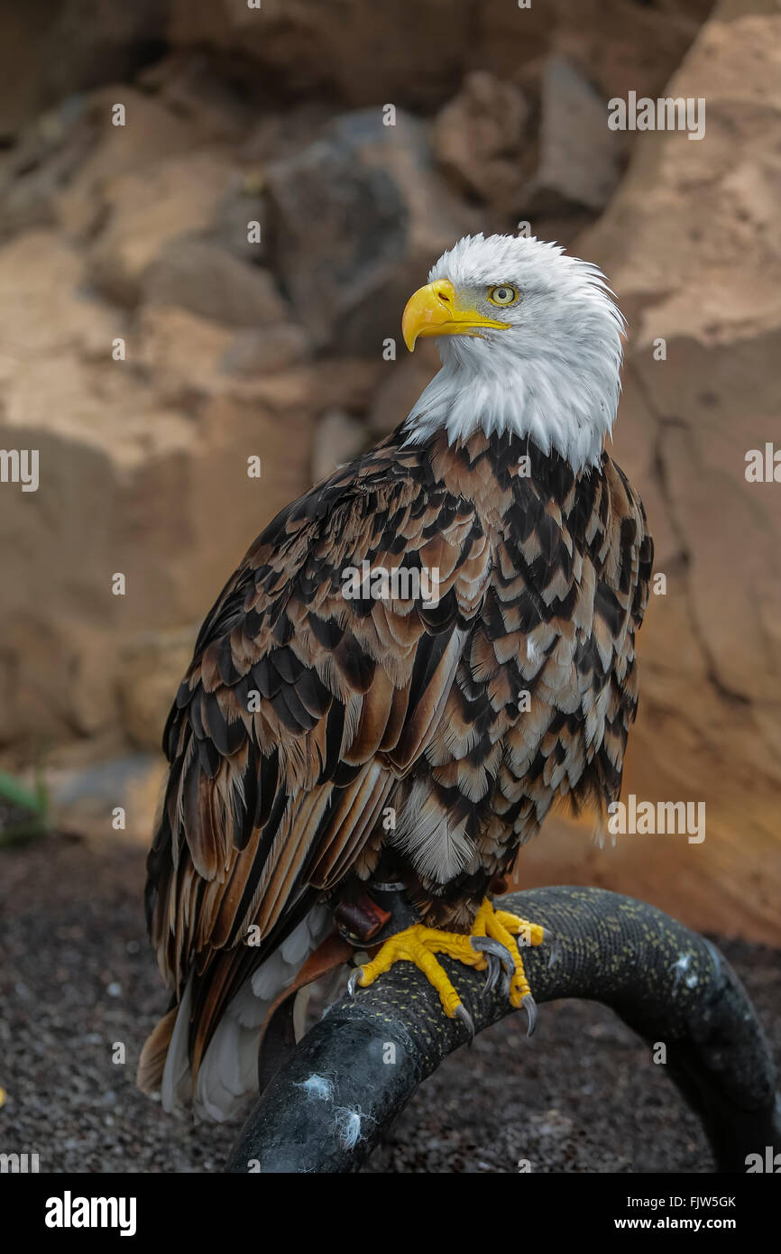 A close-up portrait profile of an adult Bald Eagle - Stock Image