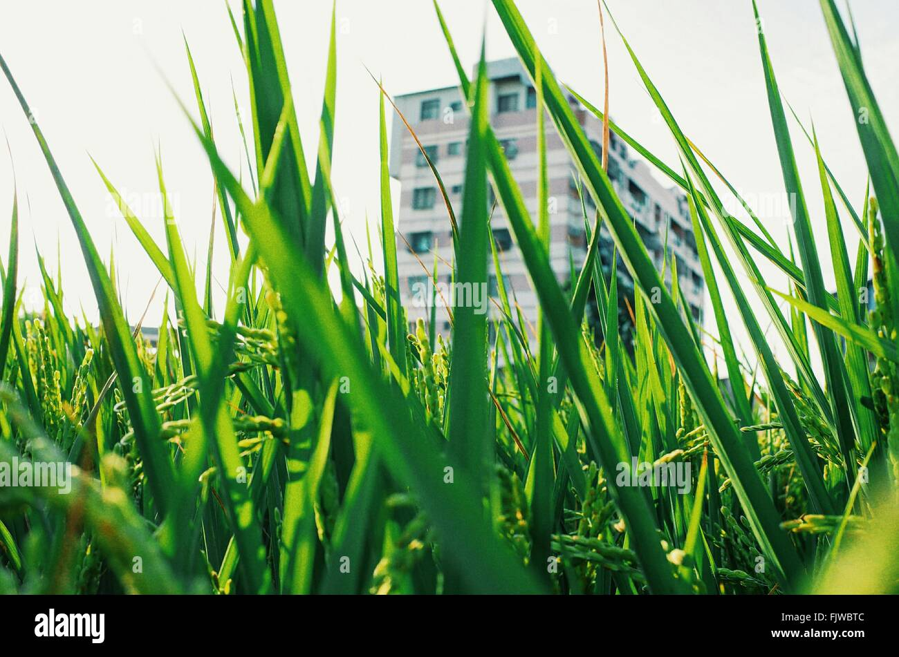 Close-Up Of Rice Paddy By Building Against Sky - Stock Image