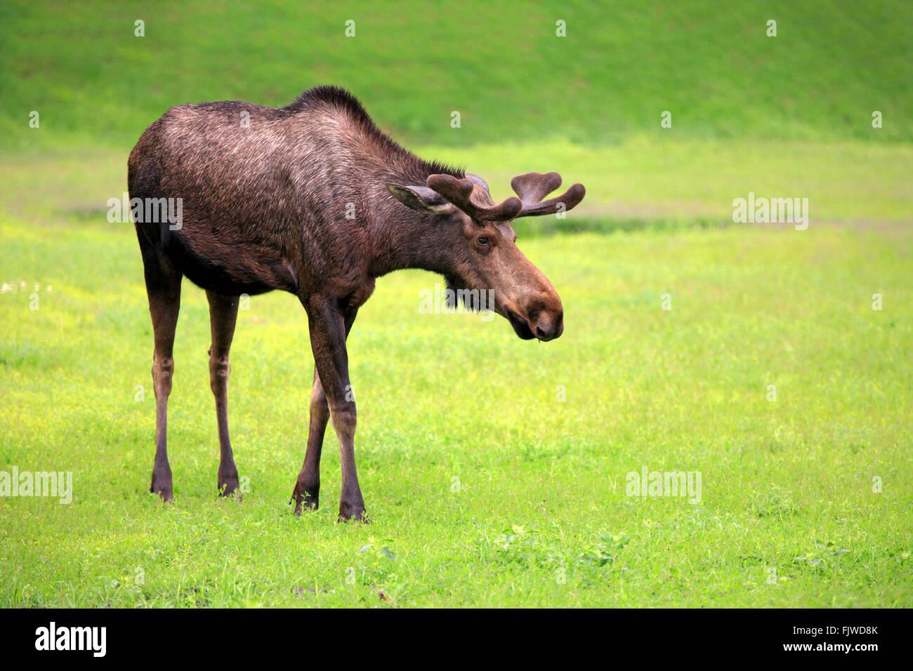 Moose, adult male, Alaska Wildlife Conversation Center, Anchorage, Alaska, USA, Northamerica / (Alces alces) - Stock Image