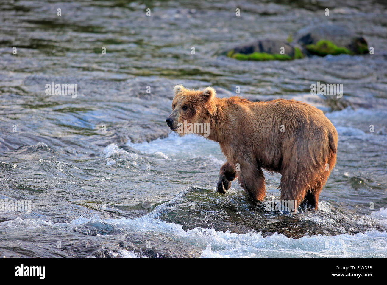 Grizzly Bear adult on rock in water in summer Brookes River Katmai Nationalpark Alaska USA North America / (Ursus Stock Photo