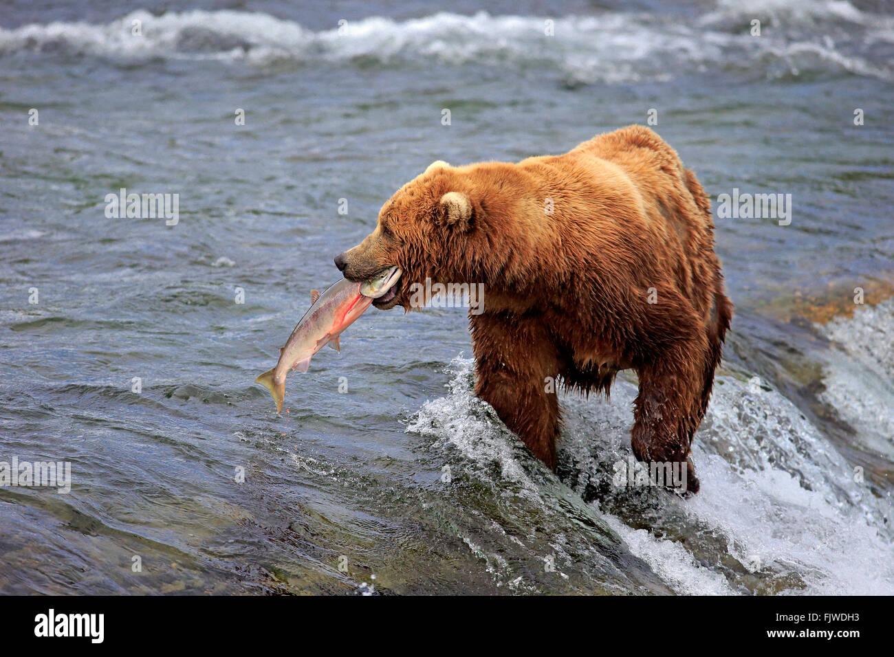 Grizzly Bear adult in water hunting salmon Brookes River Katmai Nationalpark Alaska USA North America / (Ursus arctos Stock Photo