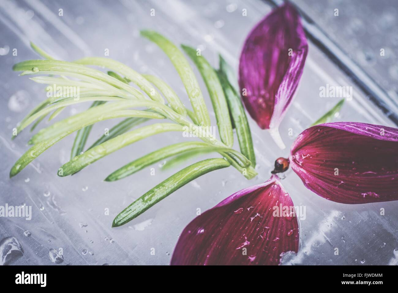 Close-Up Of Wet Magenta Petals And Leaves On Glass - Stock Image