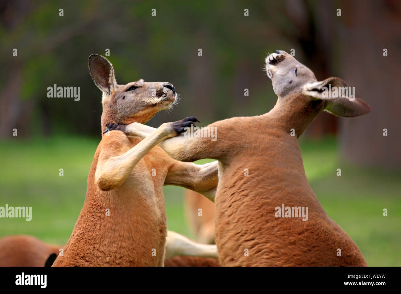 Red Kangaroo, two adult males fighting, South Australia, Australlia / (Macropus rufus) - Stock Image