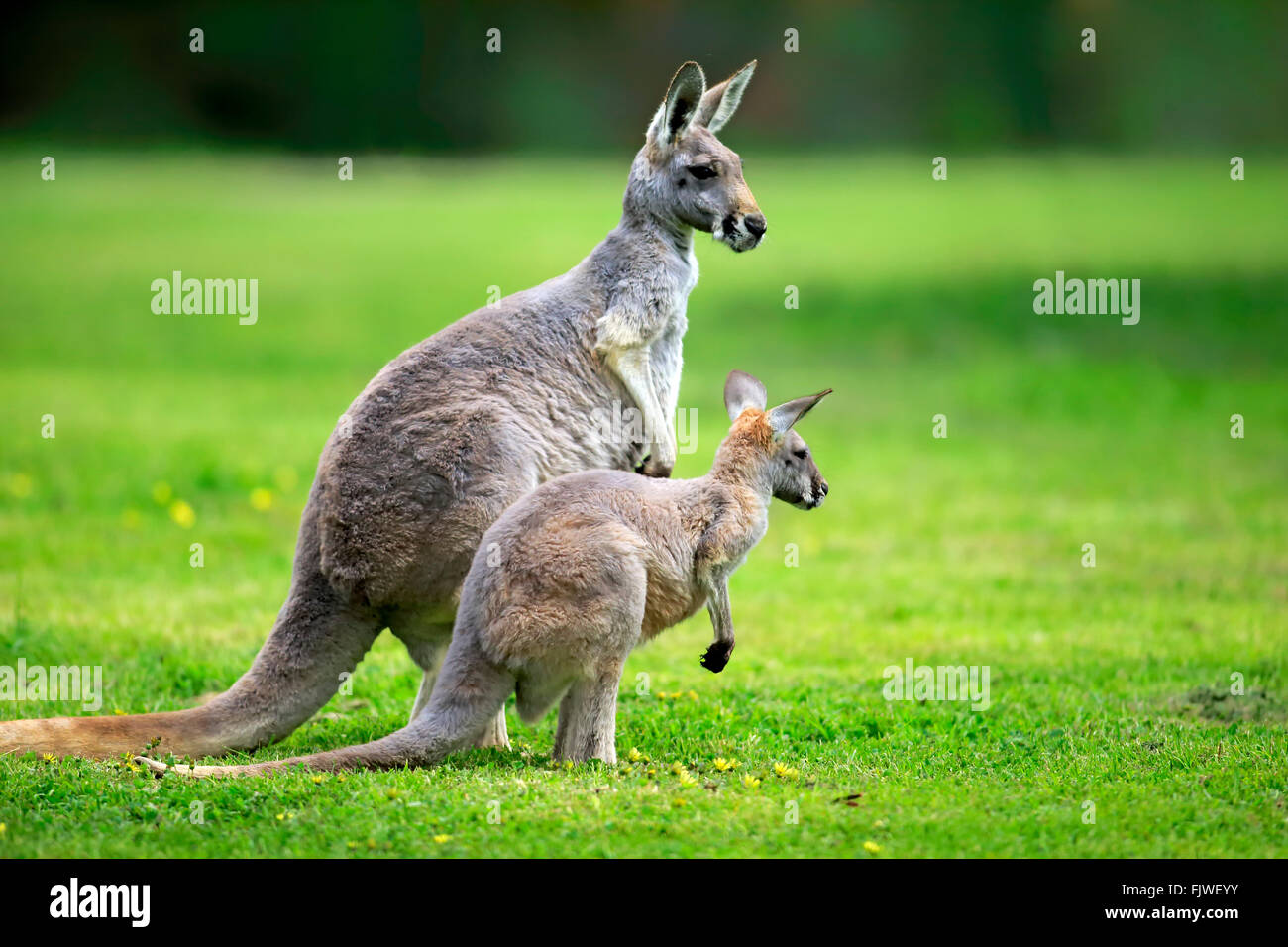 Red Kangaroo, female with young, South Australia, Australlia / (Macropus rufus) - Stock Image