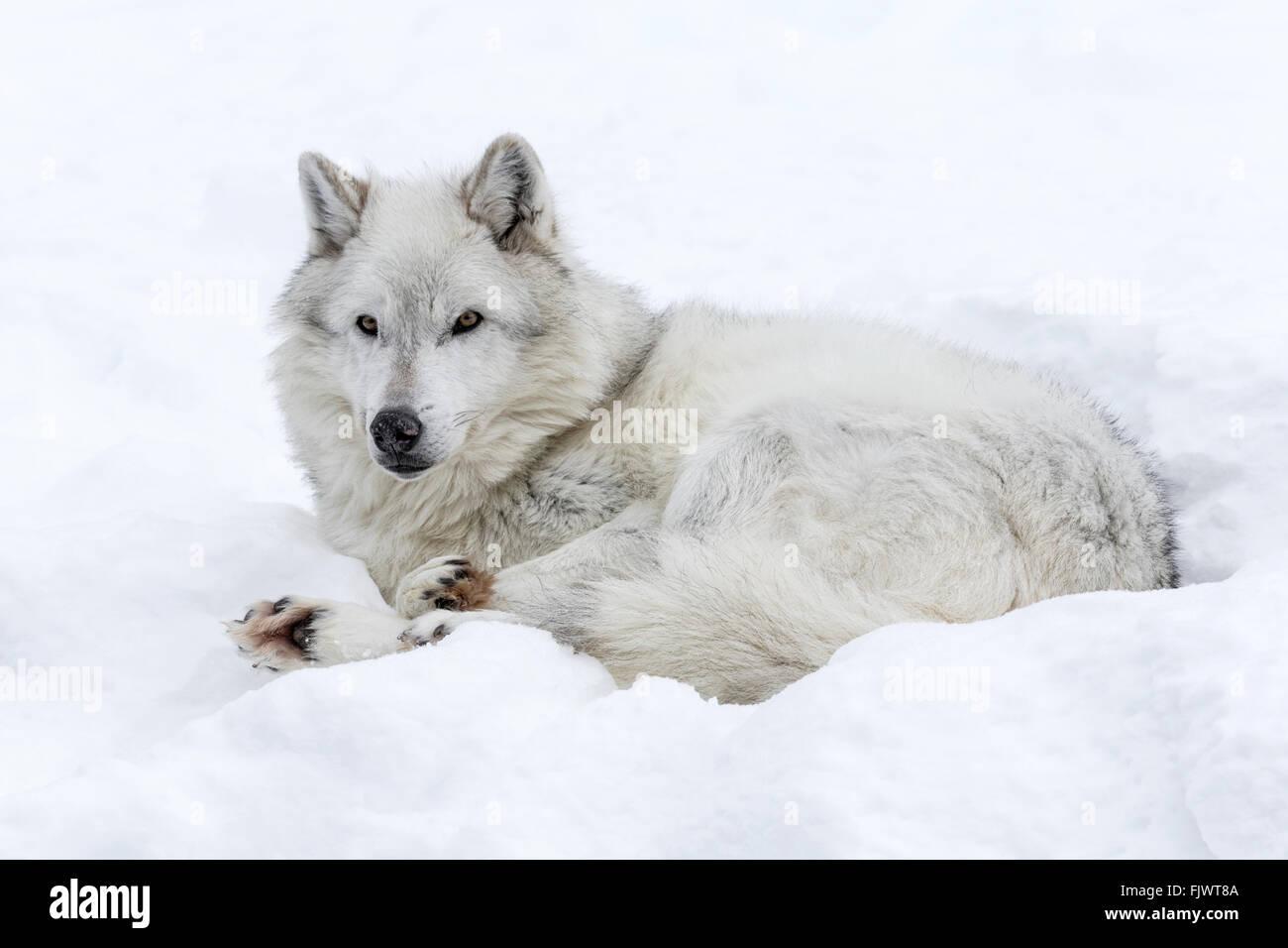 Gray Wolf - Stock Image
