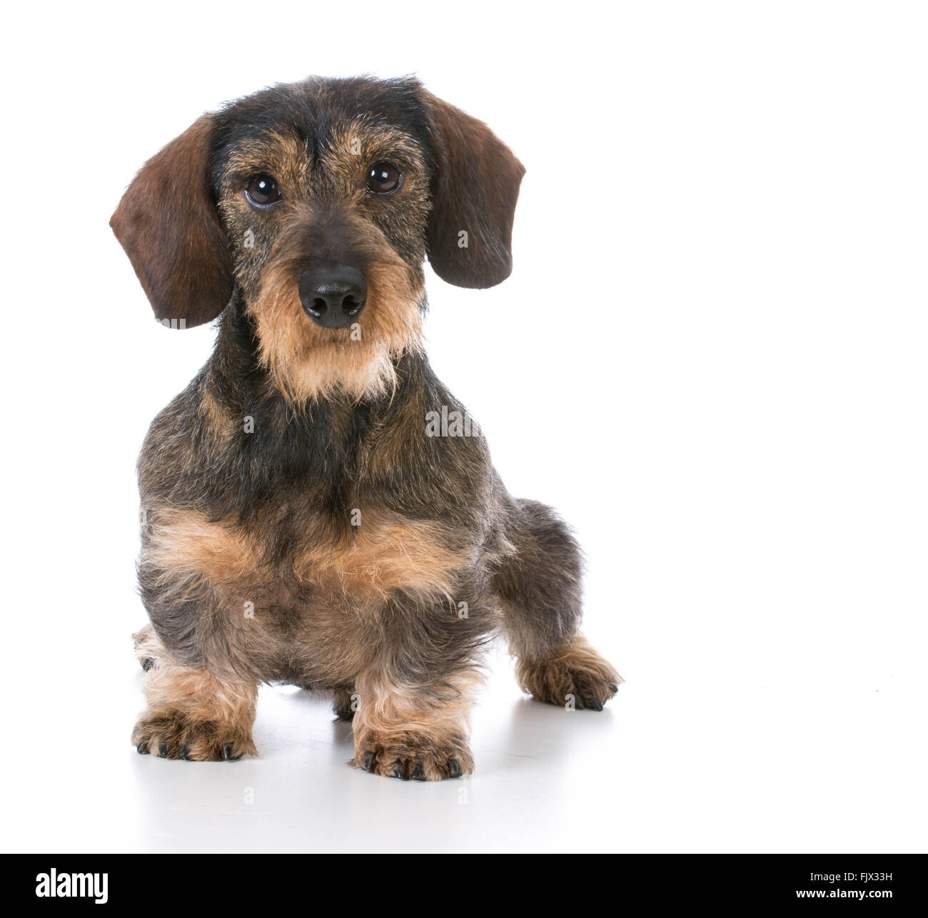 Miniature Wirehaired Stock Photos & Miniature Wirehaired Stock ...