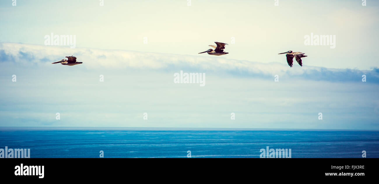 Gliding Pelican - Stock Image