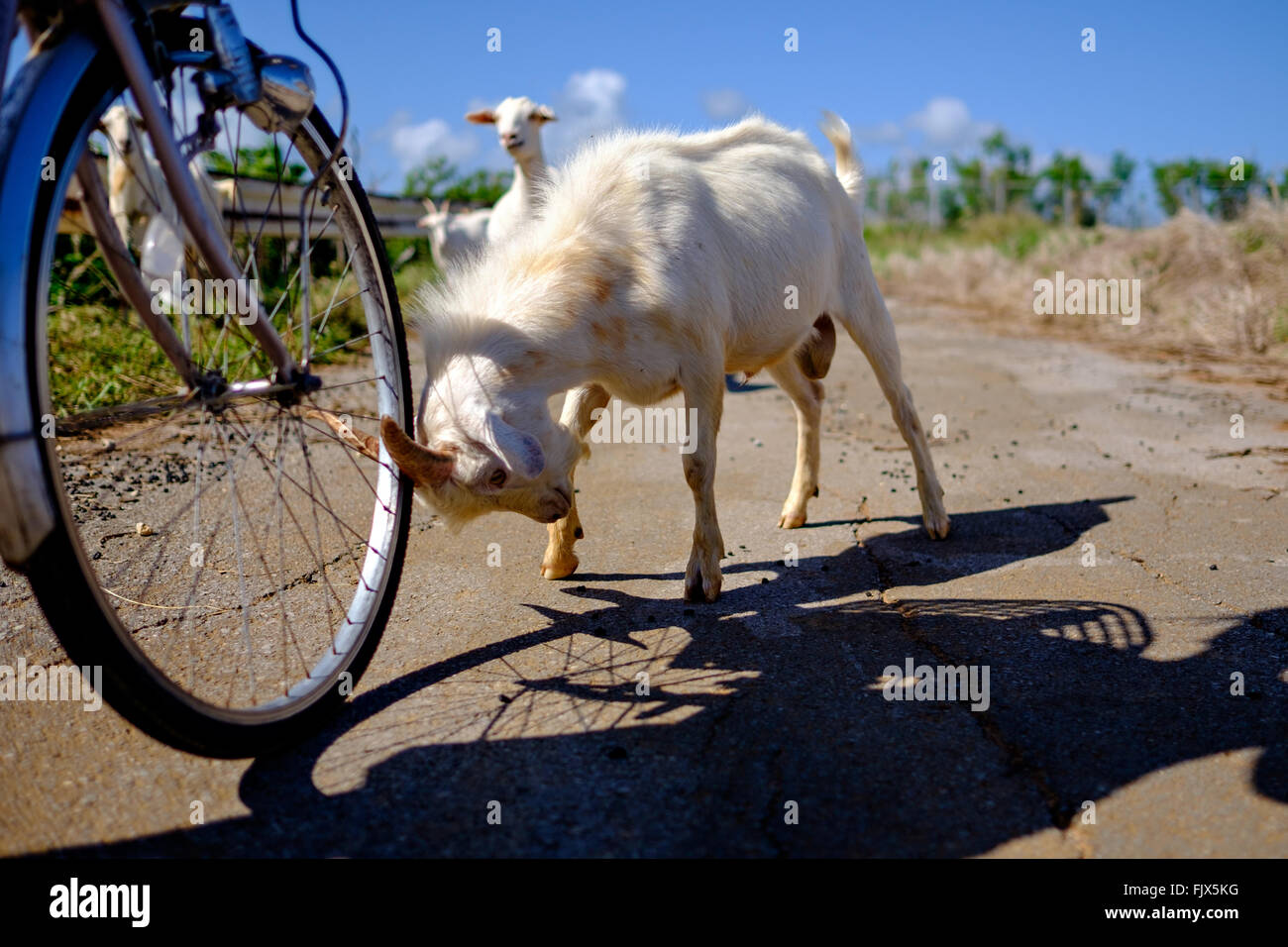 Goat Hitting Bicycle On Street - Stock Image