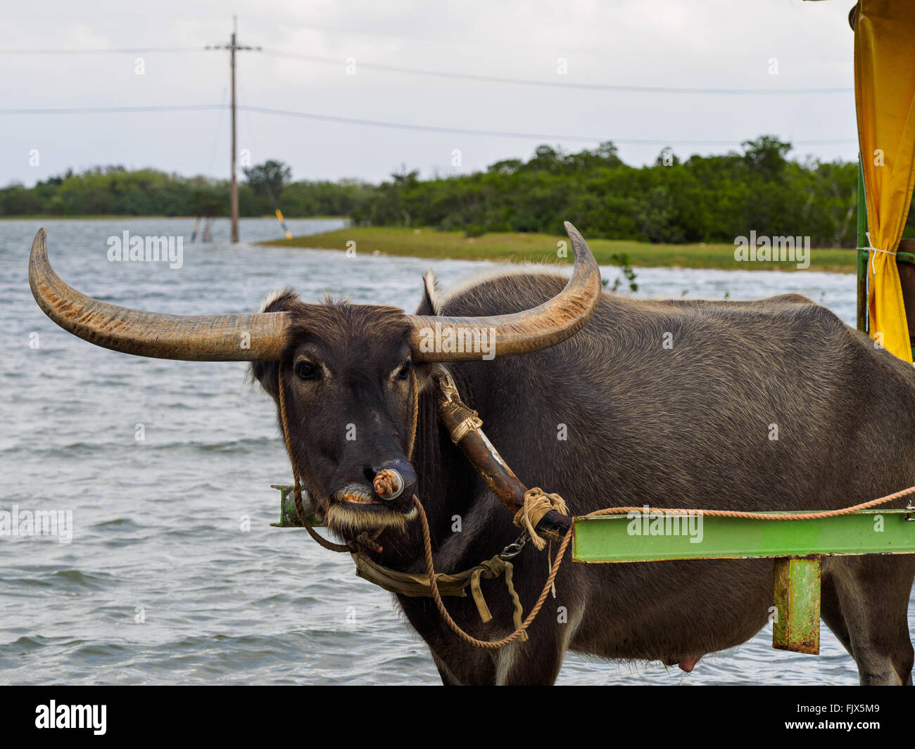 Horned Bull Tied To Cart By Lake - Stock Image