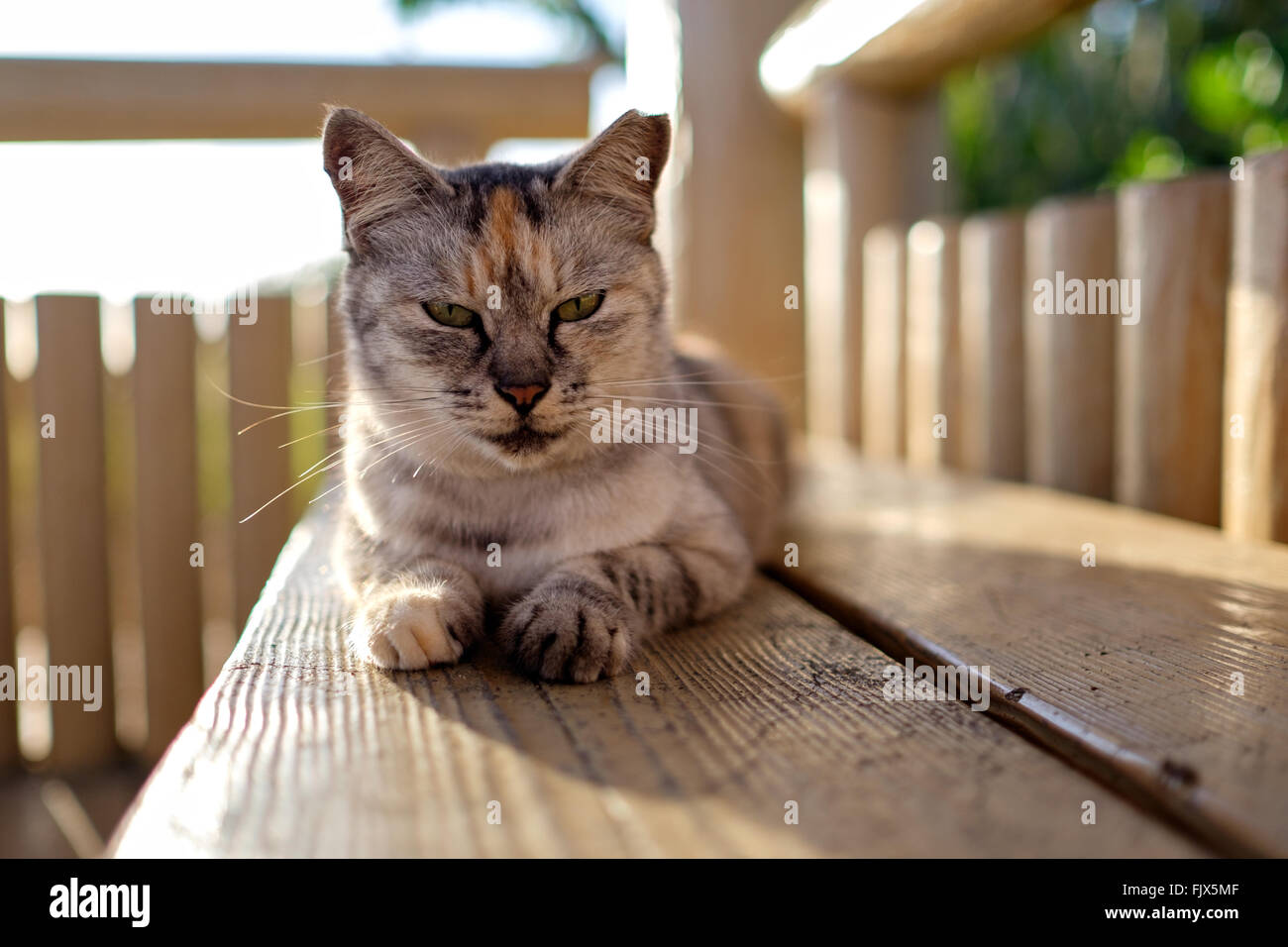 Portrait Of Cat Sitting On Wooden Seat In Gazebo - Stock Image