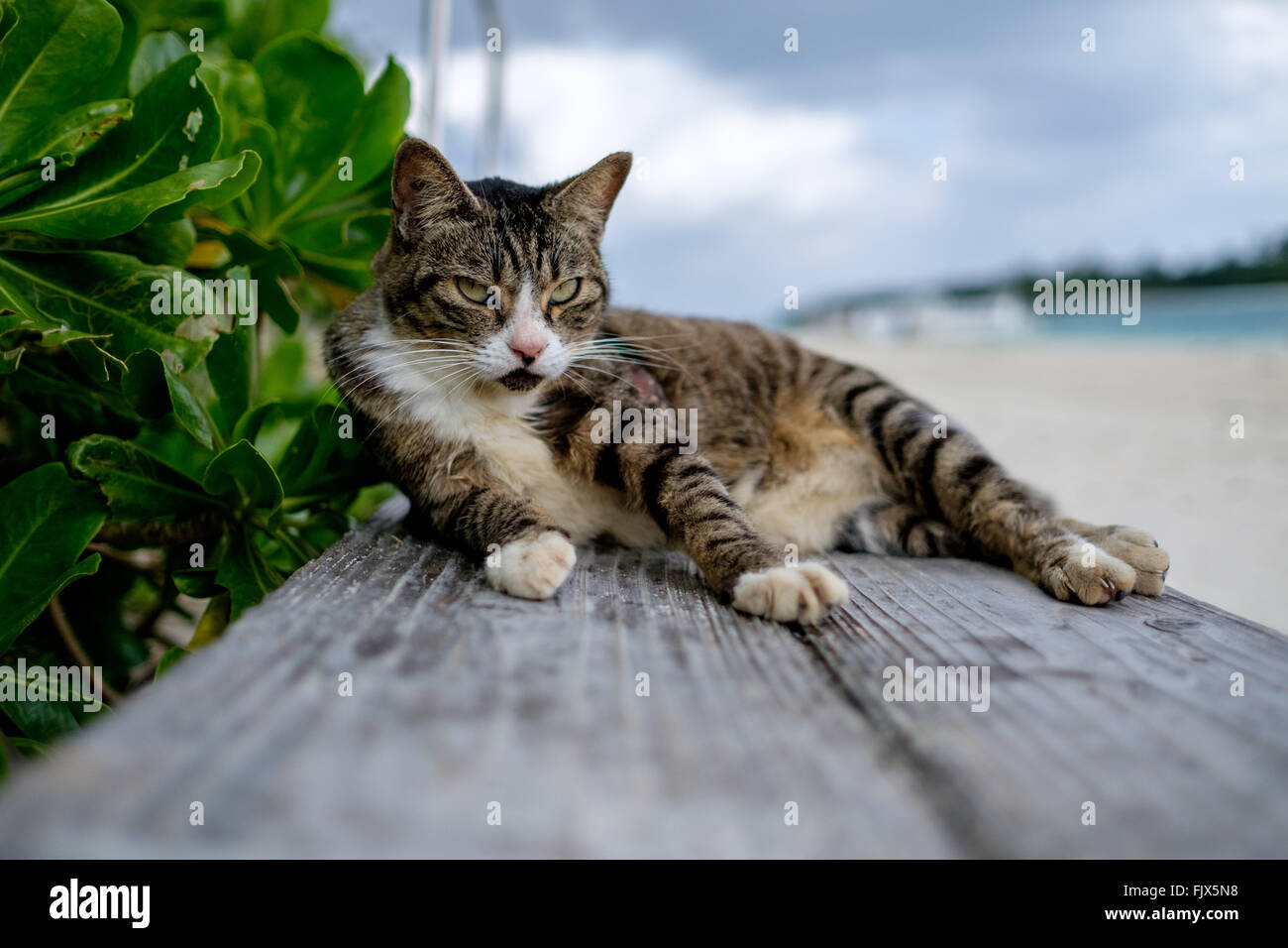 Portrait Of Cat Sitting On Wooden Plank At Beach - Stock Image