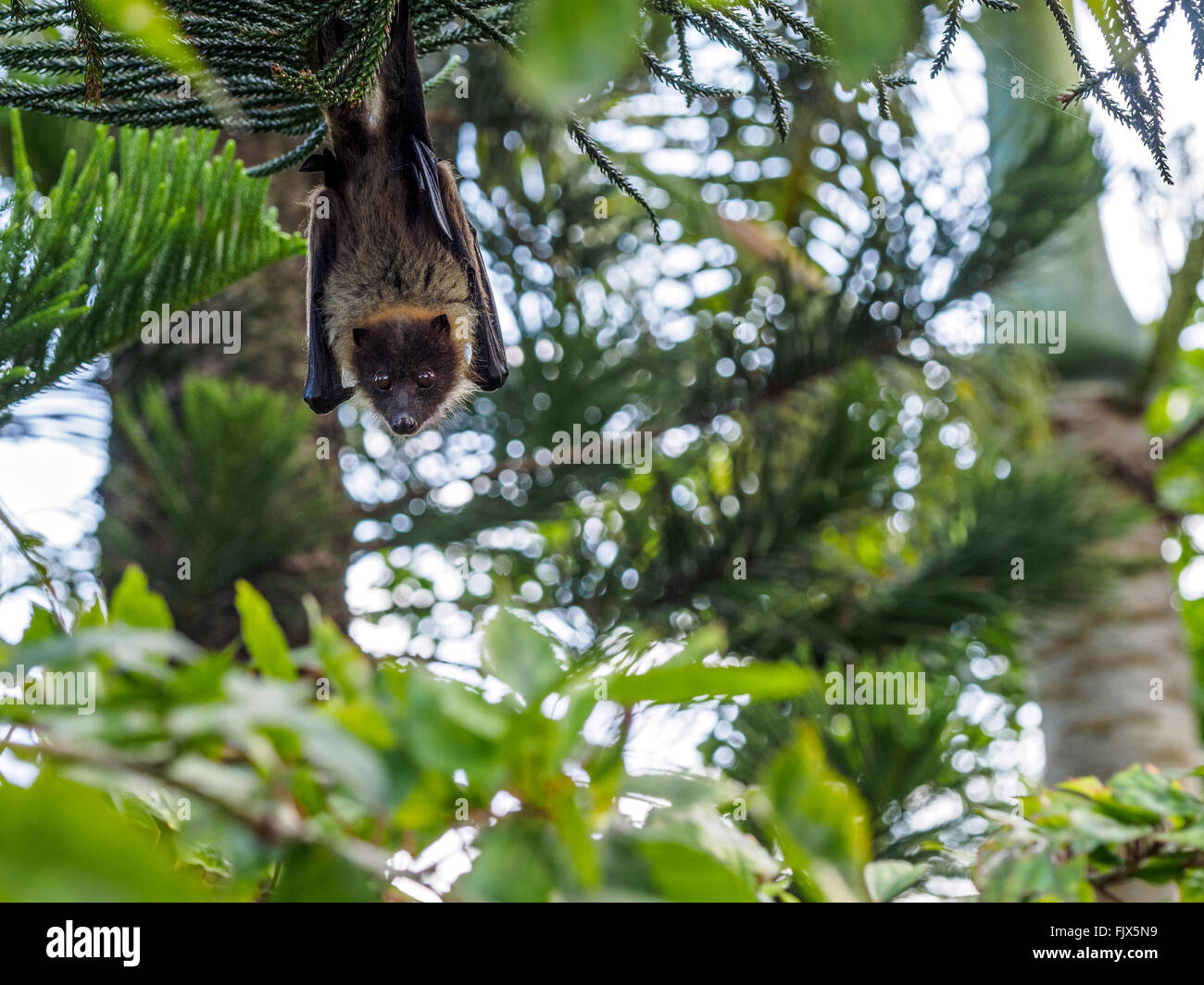 Low Angle Portrait Of Fruit Bat Hanging From Tree - Stock Image
