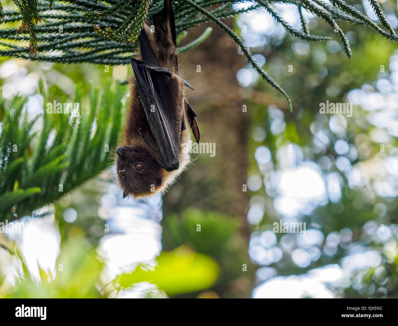 Low Angle View Of Fruit Bat Hanging From Tree - Stock Image