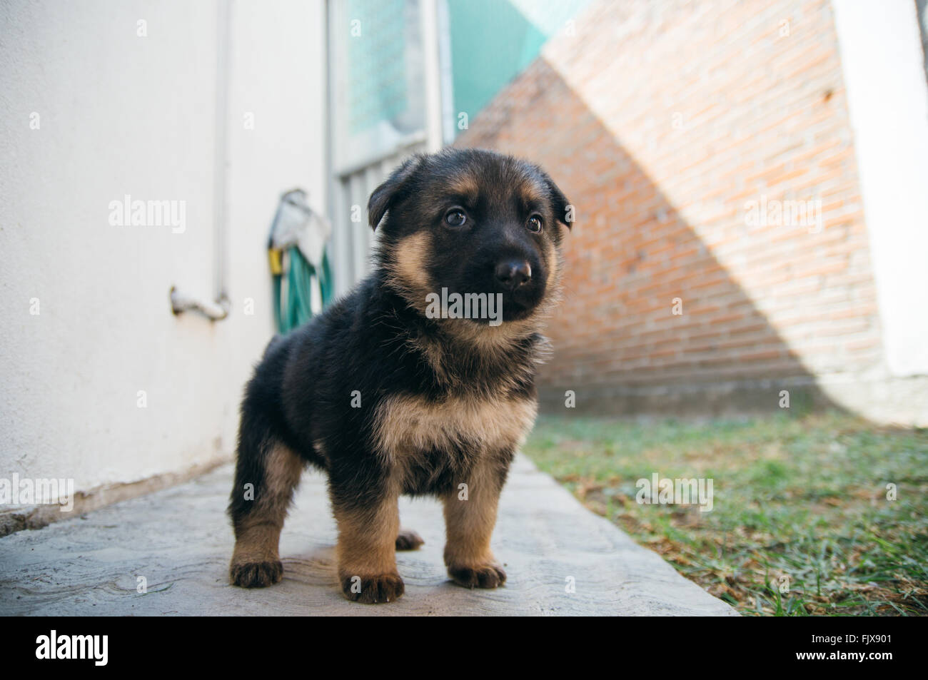 Close Up Of German Shepherd Puppy In Lawn Stock Photo 97693457 Alamy