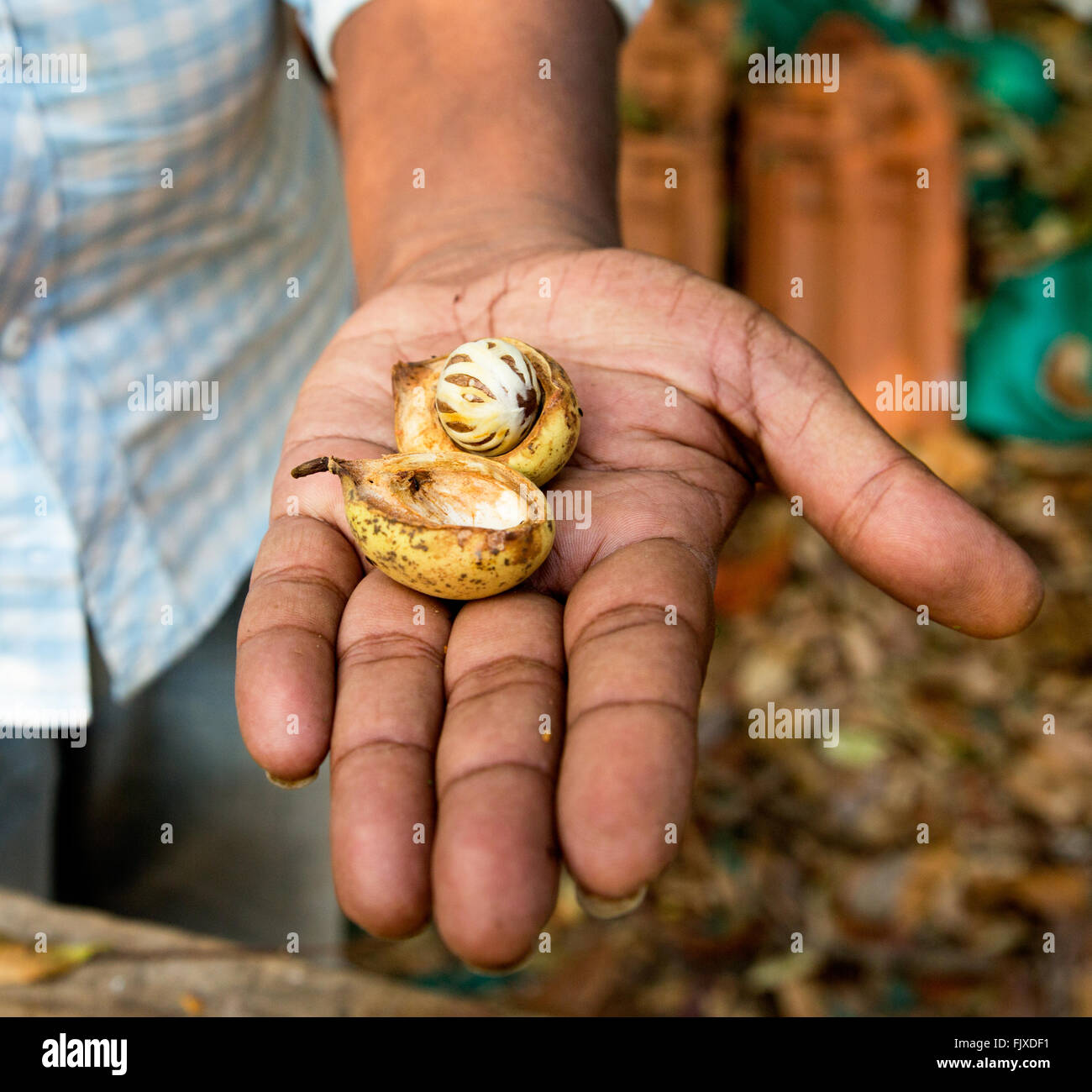 Nutmeg Spice Kerala India - Stock Image