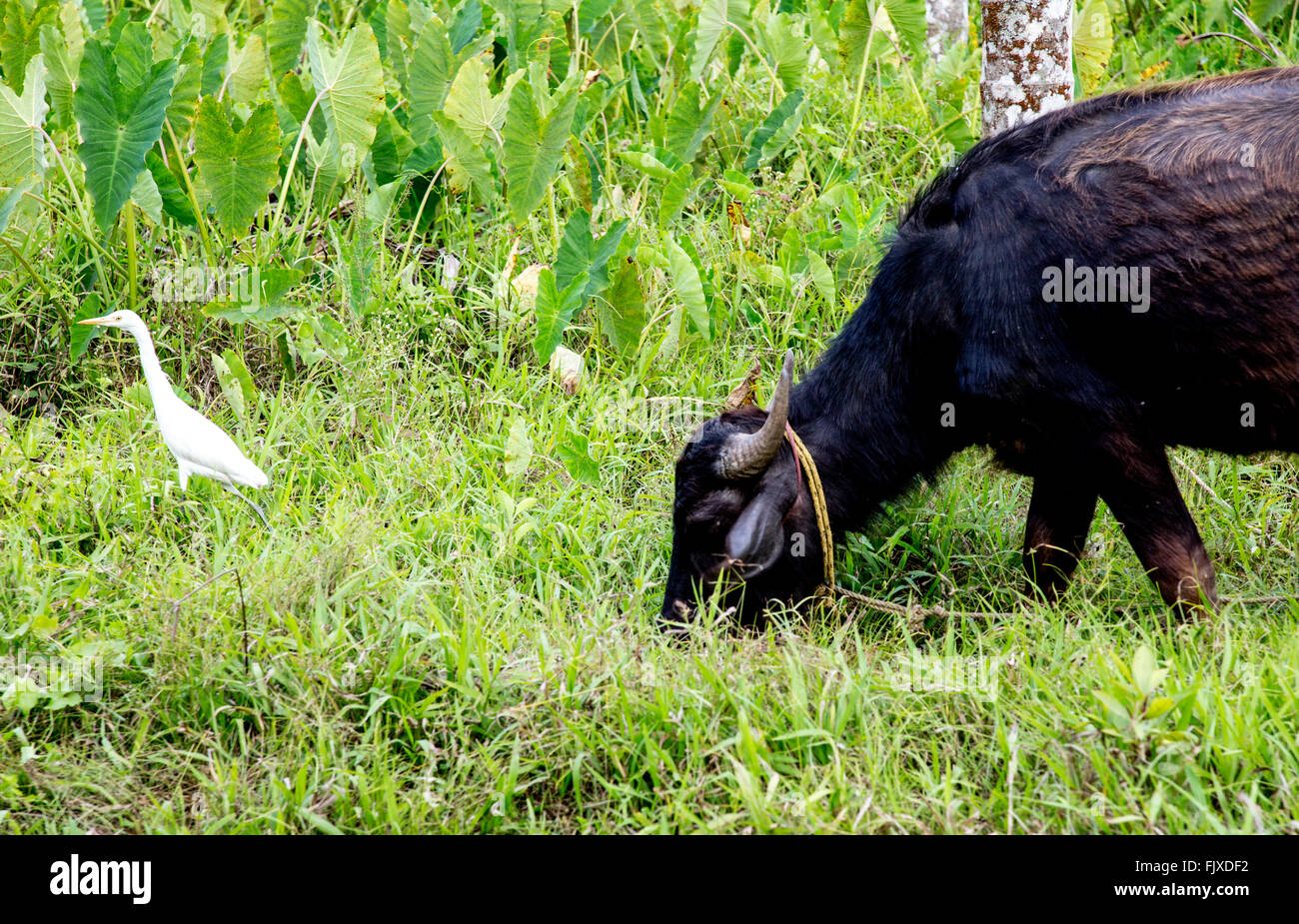 Cow and Egret Bird In Kerala India - Stock Image