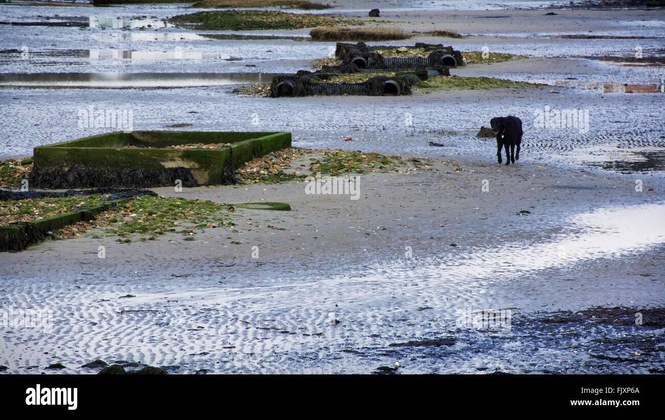 Black Dog On Wet Beach - Stock Image