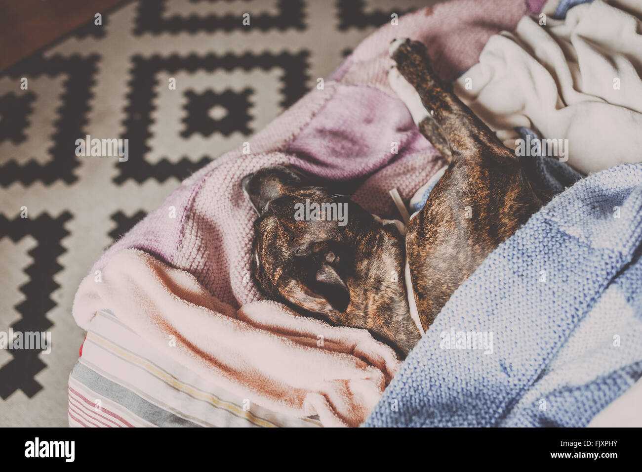 High Angle View Of Pit Bull Dog Sleeping On Bed At Home - Stock Image