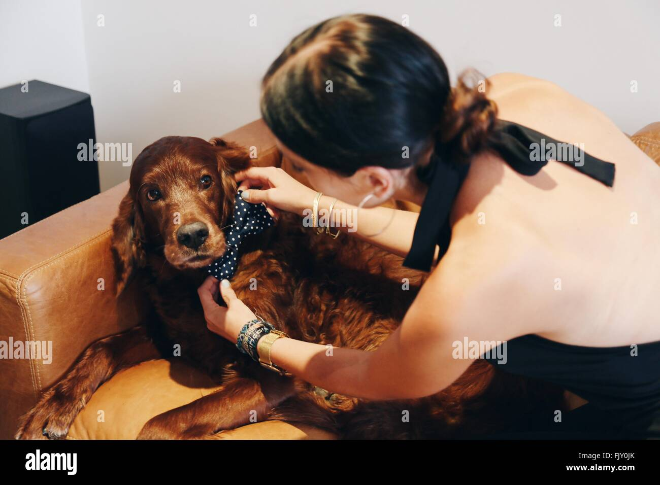 High Angle View Of Woman Adjusting Bow Tie On Irish Setter At Home - Stock Image
