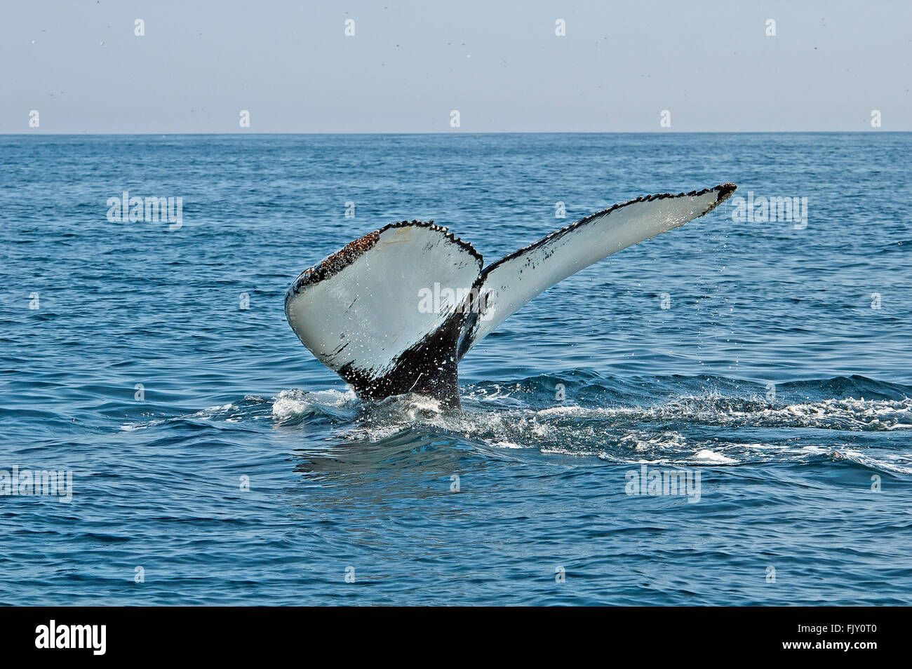 Humpback whale tail above water - Stock Image