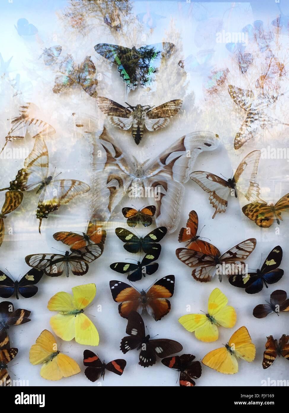 Artificial Butterflies Seen Through Glass - Stock Image