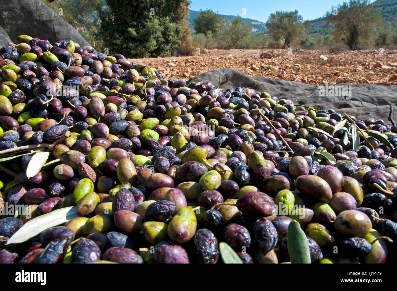 Pile of olives, Rich crop - Stock Image