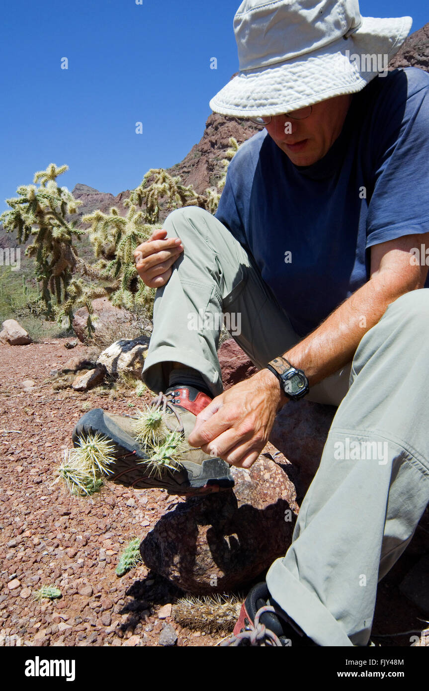 Hiker removes fallen spiny fruit of the hanging chain cholla / jumping cholla (Cylindropuntia fulgida) from shoe, - Stock Image