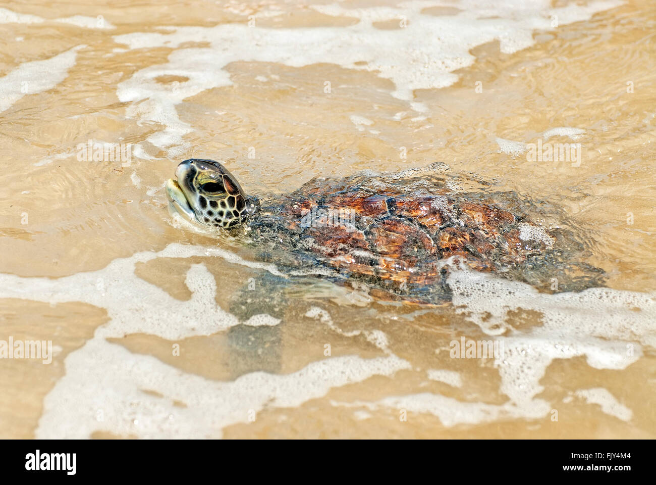 Green sea turtle , Chelonia mydas, breath Stock Photo