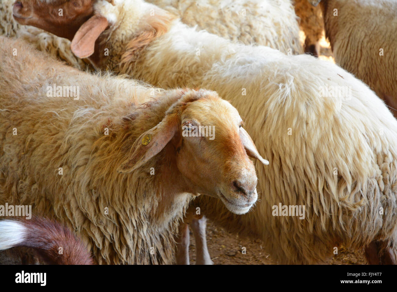 Sheep  in a herd - Stock Image