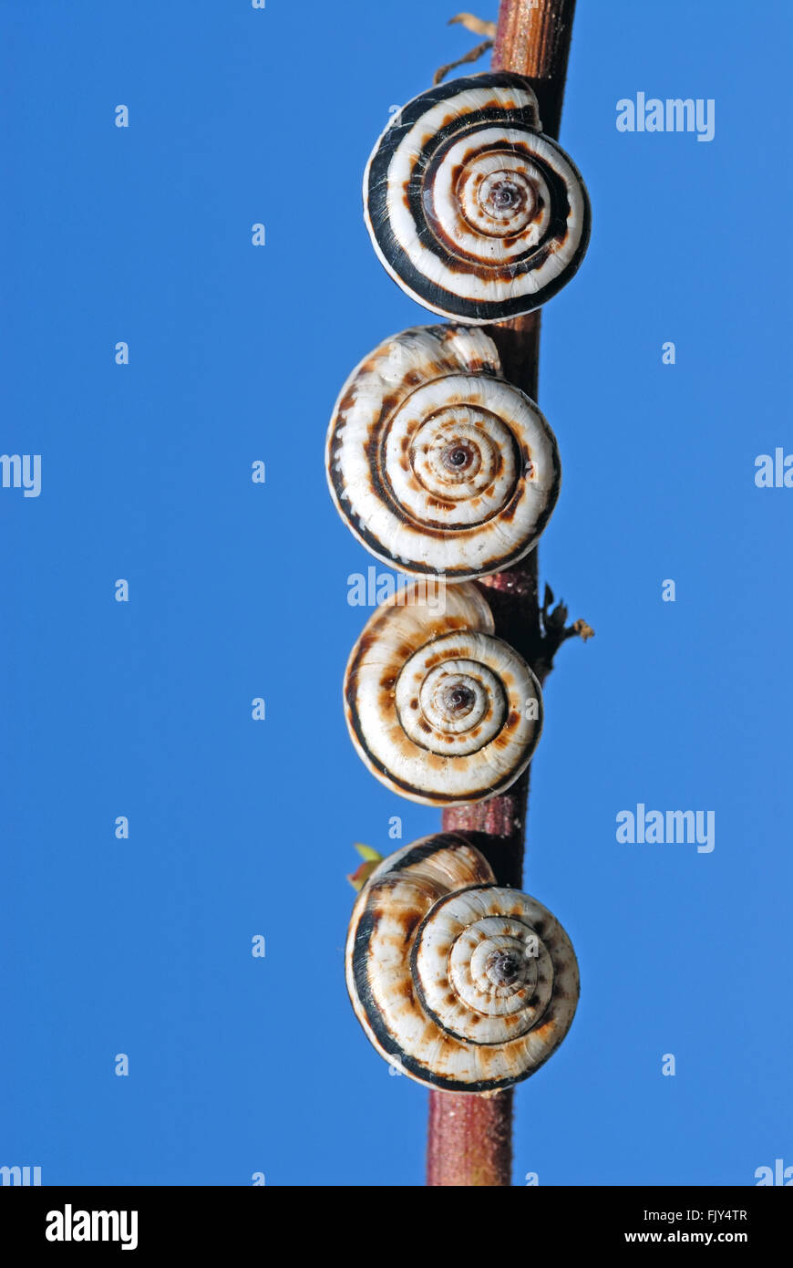 Snails on stem - Stock Image