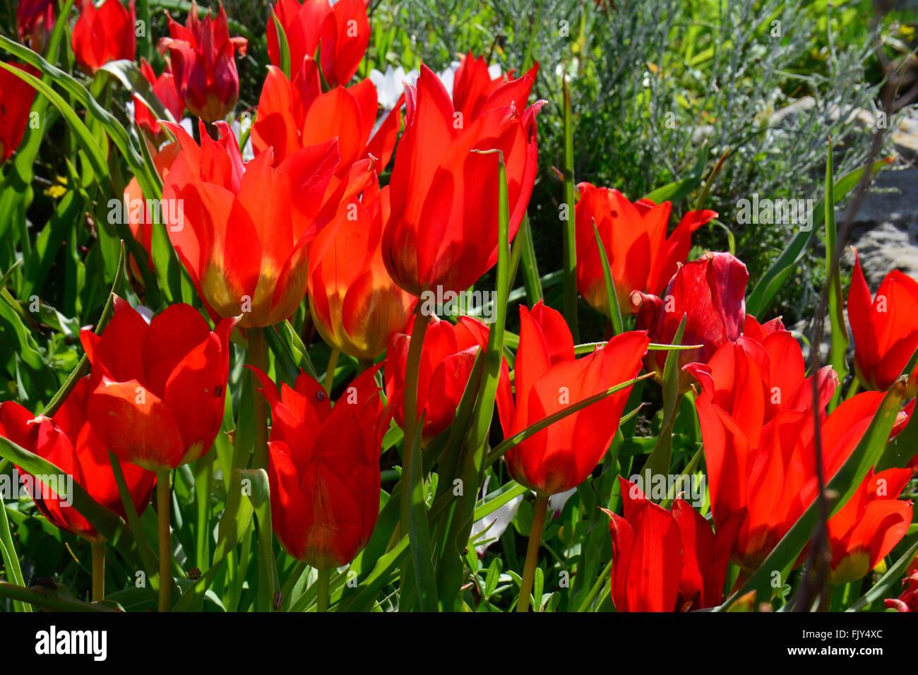 Group of wild tulips,Tulipa agenensis - Stock Image