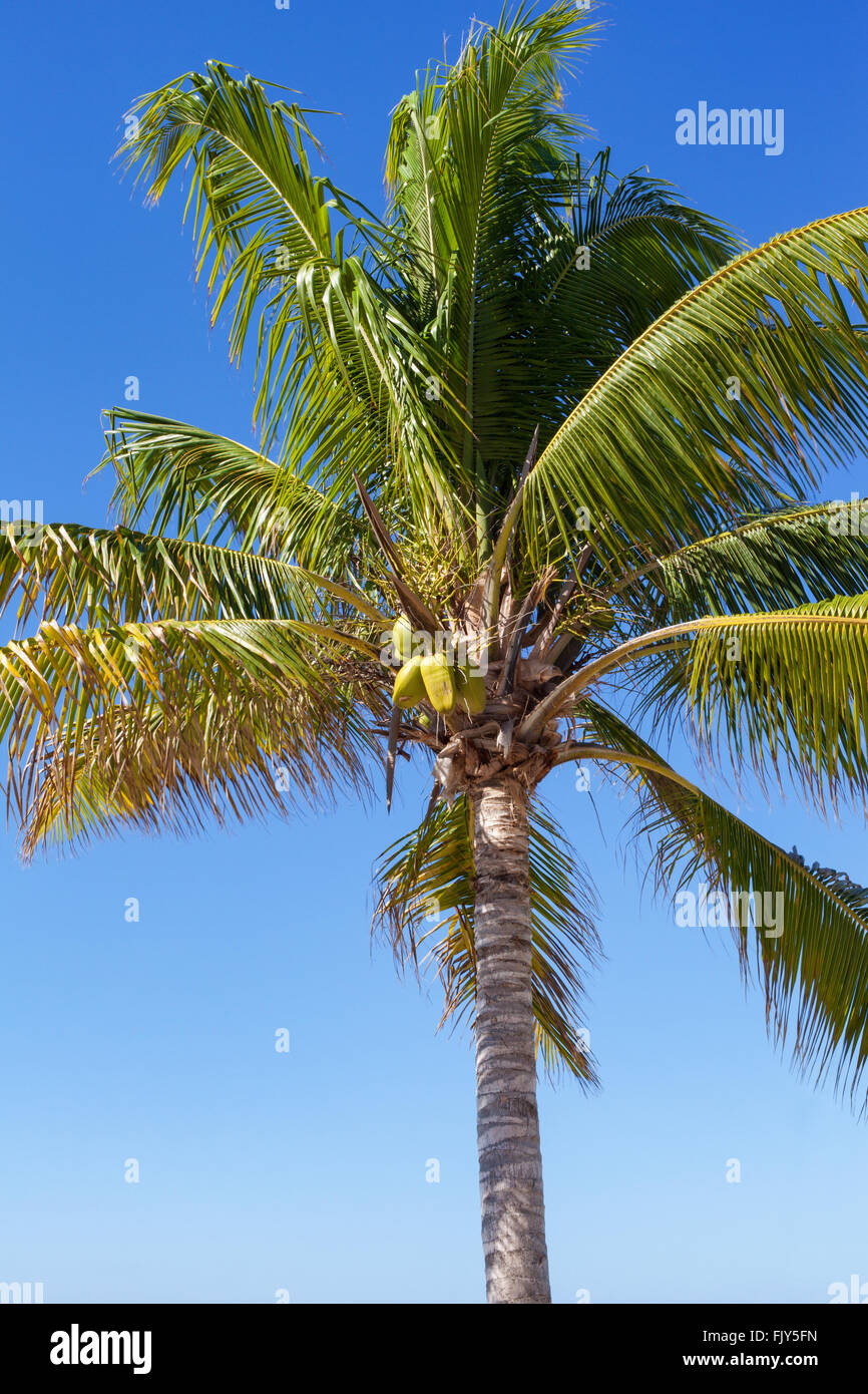 A coconut palm tree at Grand Turk, Turks and Caicos, British West Indies in the Caribbean - Stock Image