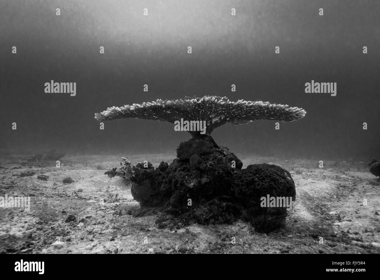 Branching coral displays interestingly like african acacia tree or table with flat top Monochrome - Stock Image
