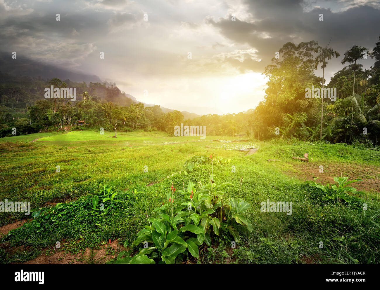 Field in jungles of Sri Lanka at cloudy sunset - Stock Image