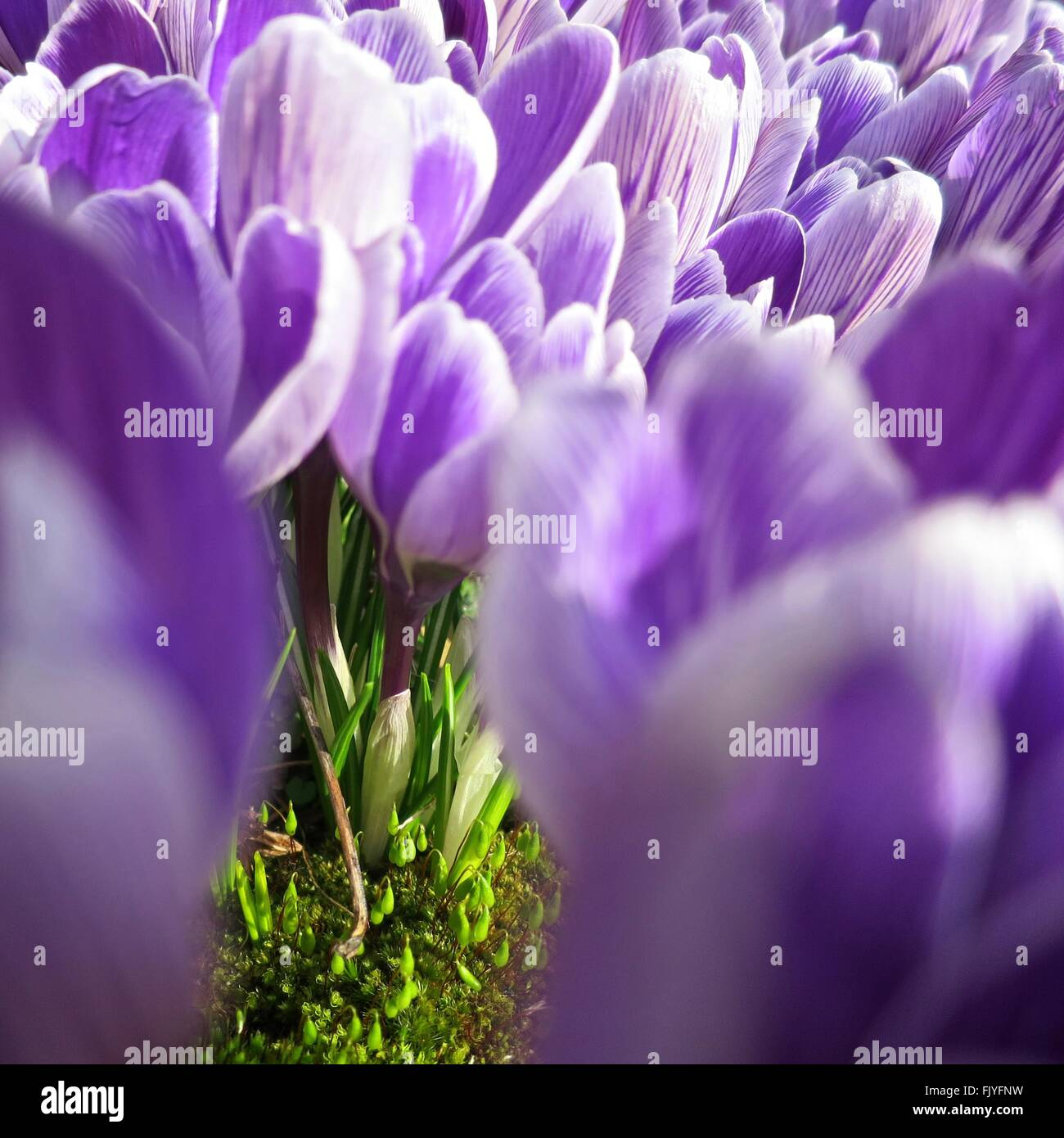 Purple crocuses close up showing the undergrowth of green stems Stock Photo