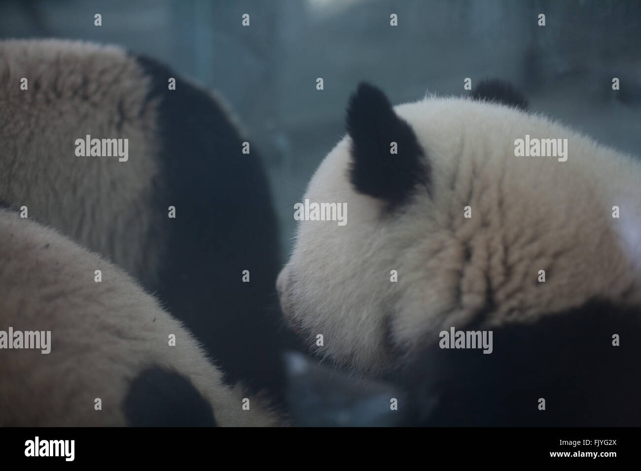 Pandas In Foggy Weather - Stock Image