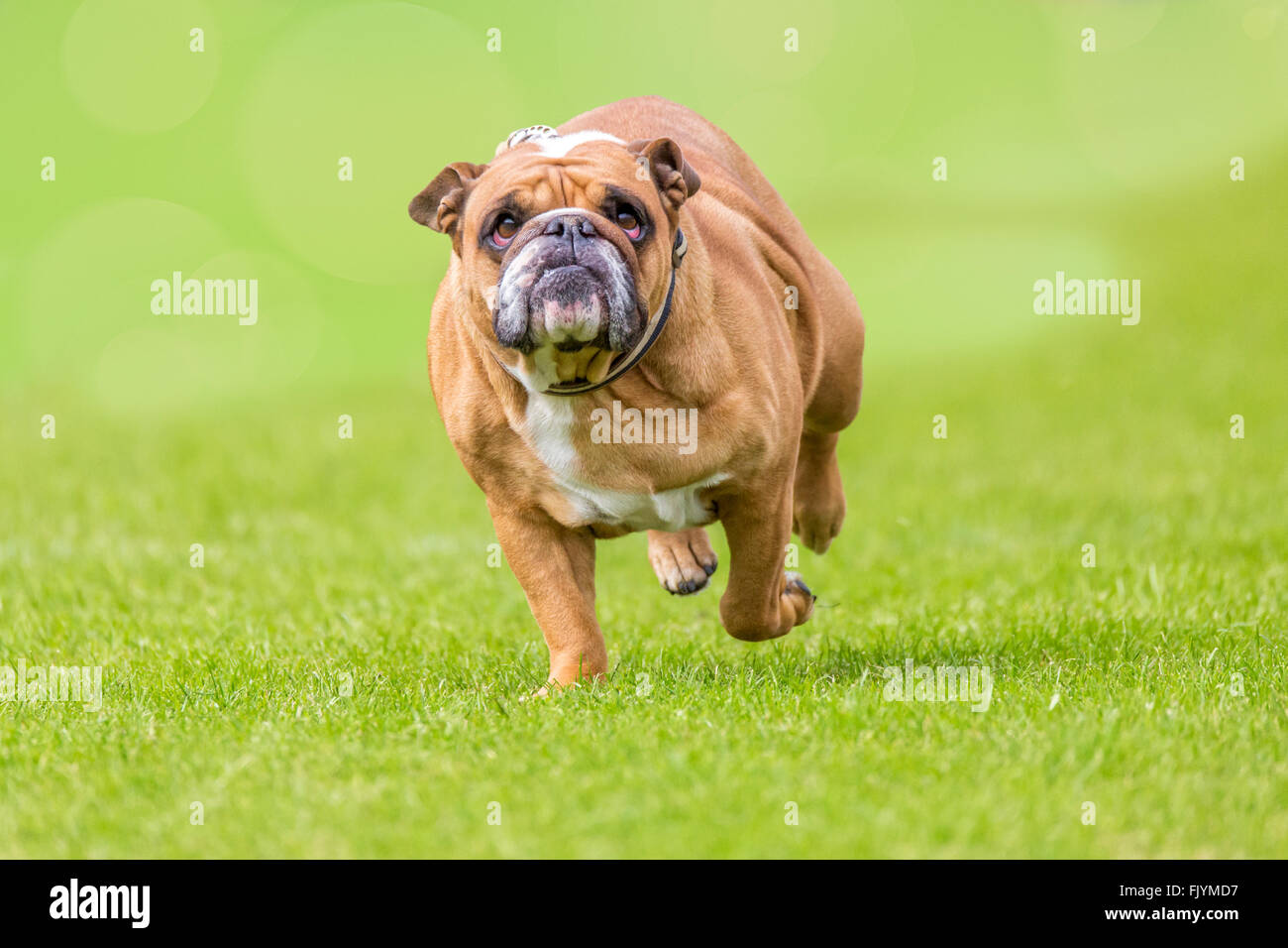 Grumpy looking overweight bulldog runs over the green - Stock Image