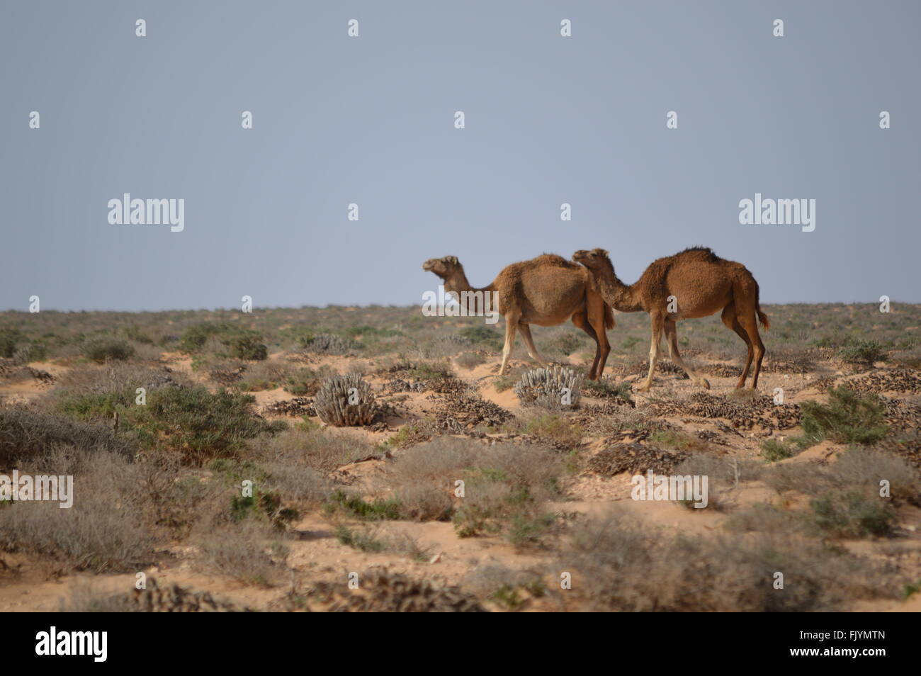 Camels in Sahara, Morocco - Stock Image