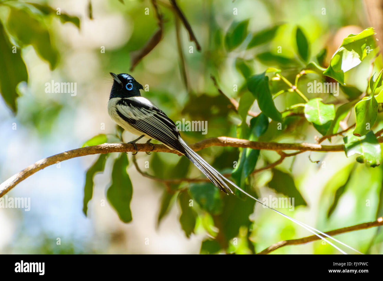 Terpsiphone mutata: Male Malagasy Paradise Flycatcher resting on a branch Stock Photo