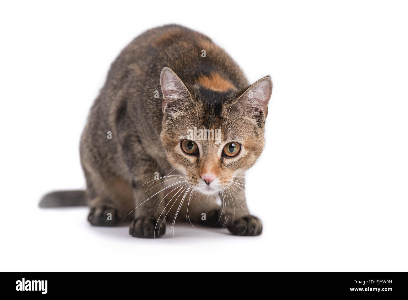 Curious Calico Domestic Short-hair Leaning Down on White Background - Stock Image
