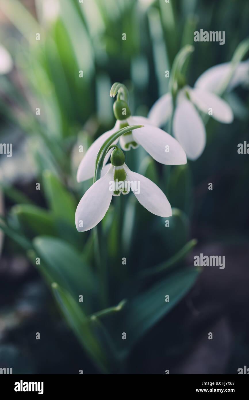 Snowdrops in the garden - Stock Image