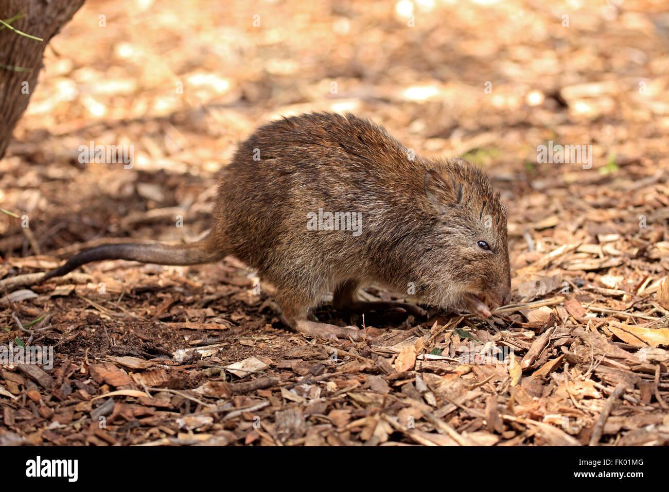Long nosed Potoroo, adult foraging, South Australia, Australia / (Potorous tridactylus) - Stock Image