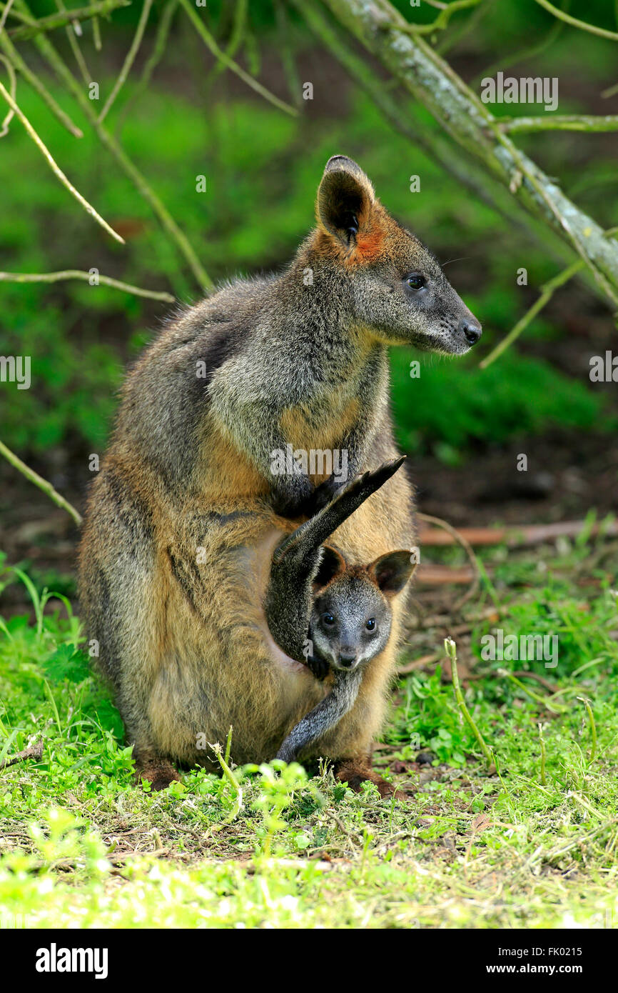 Swamp Wallaby, female with Joey in pouch, Wilson Promontory Nationalpark, Victoria, Australia / (Wallabia bicolor) - Stock Image
