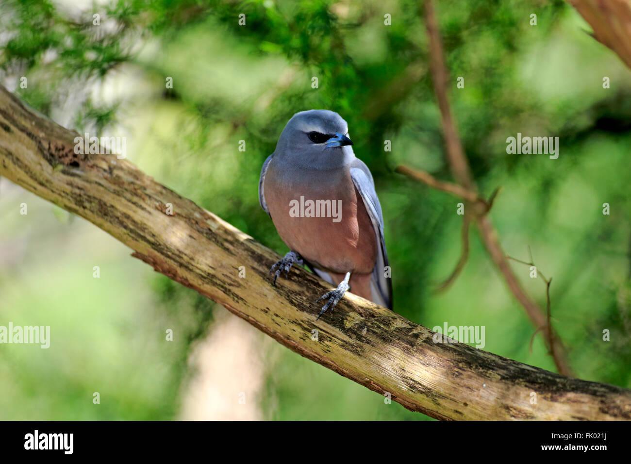 White Browed Woodswallow, adult on tree, South Australia, Australia / (Artamus superciliosus) - Stock Image