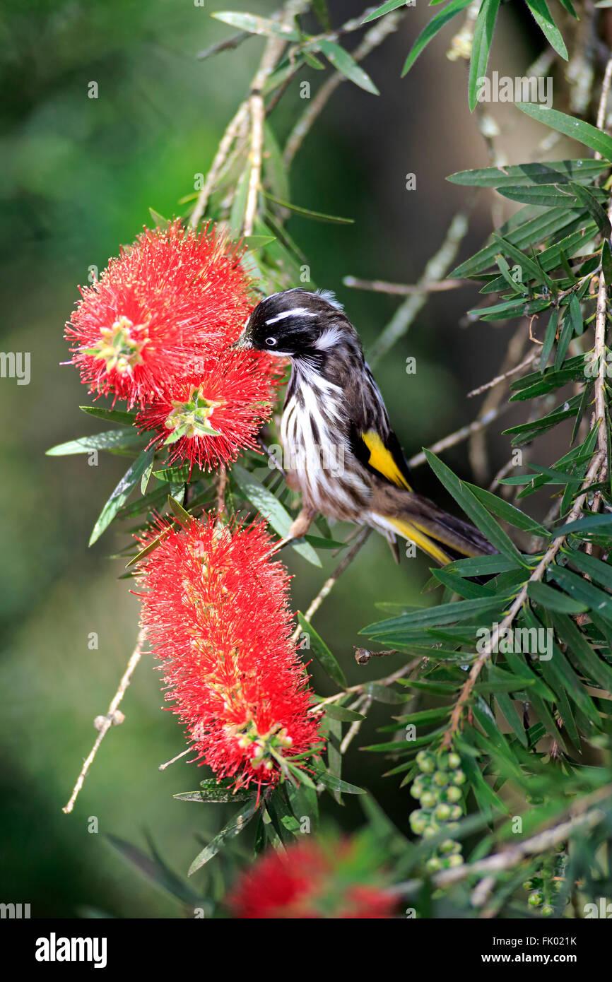 New Holland Honeyeater, South Australia, Australia / (Phylidonyris novaehollandiae) - Stock Image